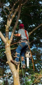 tree-trimmingWEB